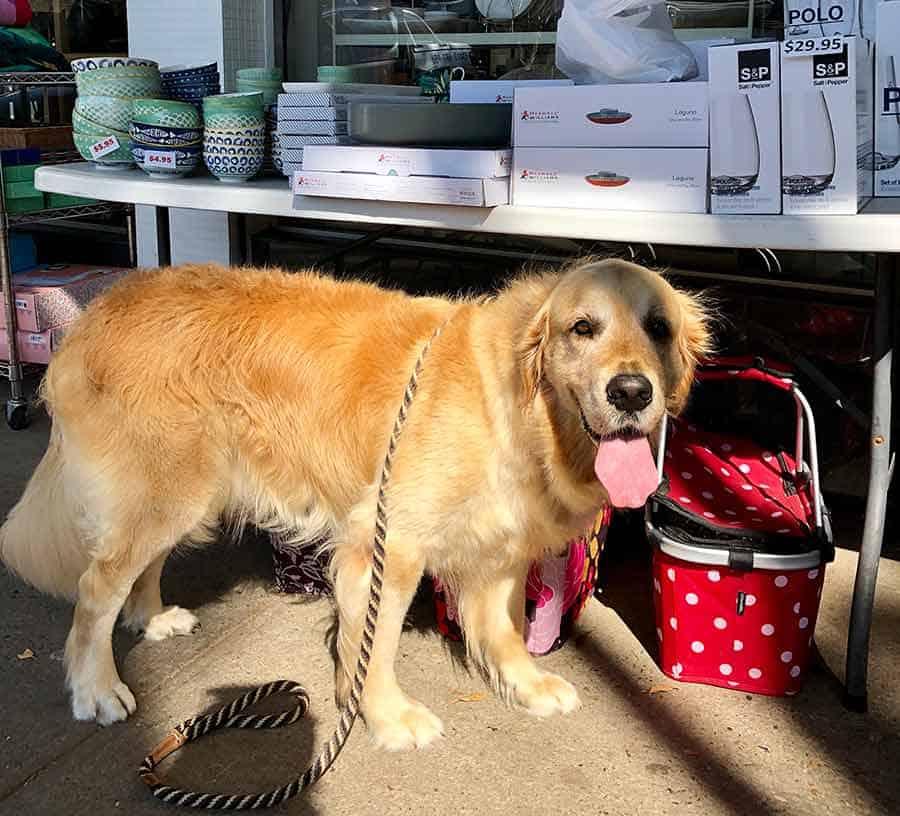 Dozer the golden retriever dog bull in china shop