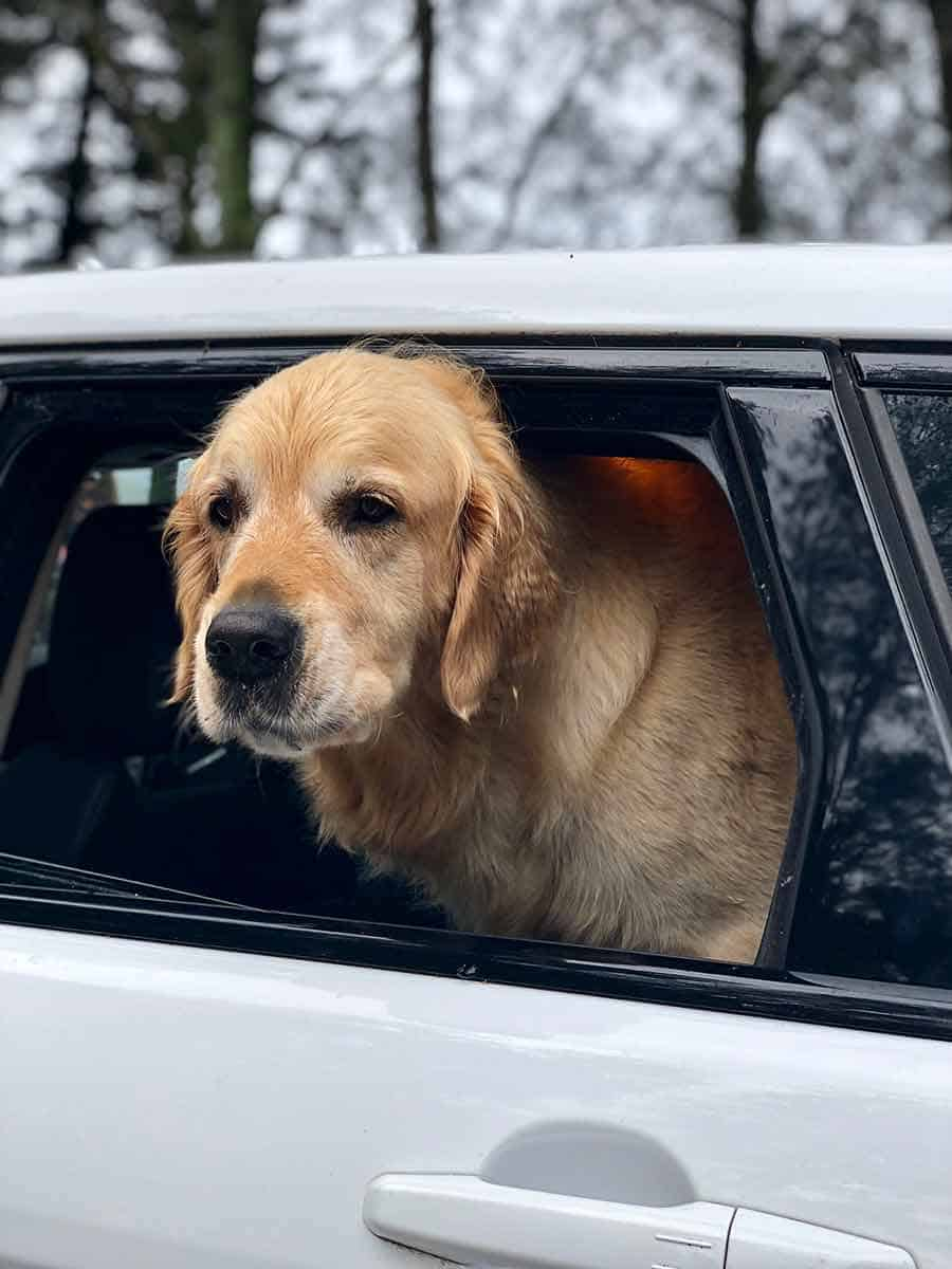 Dozer the golden retriever dog in the car