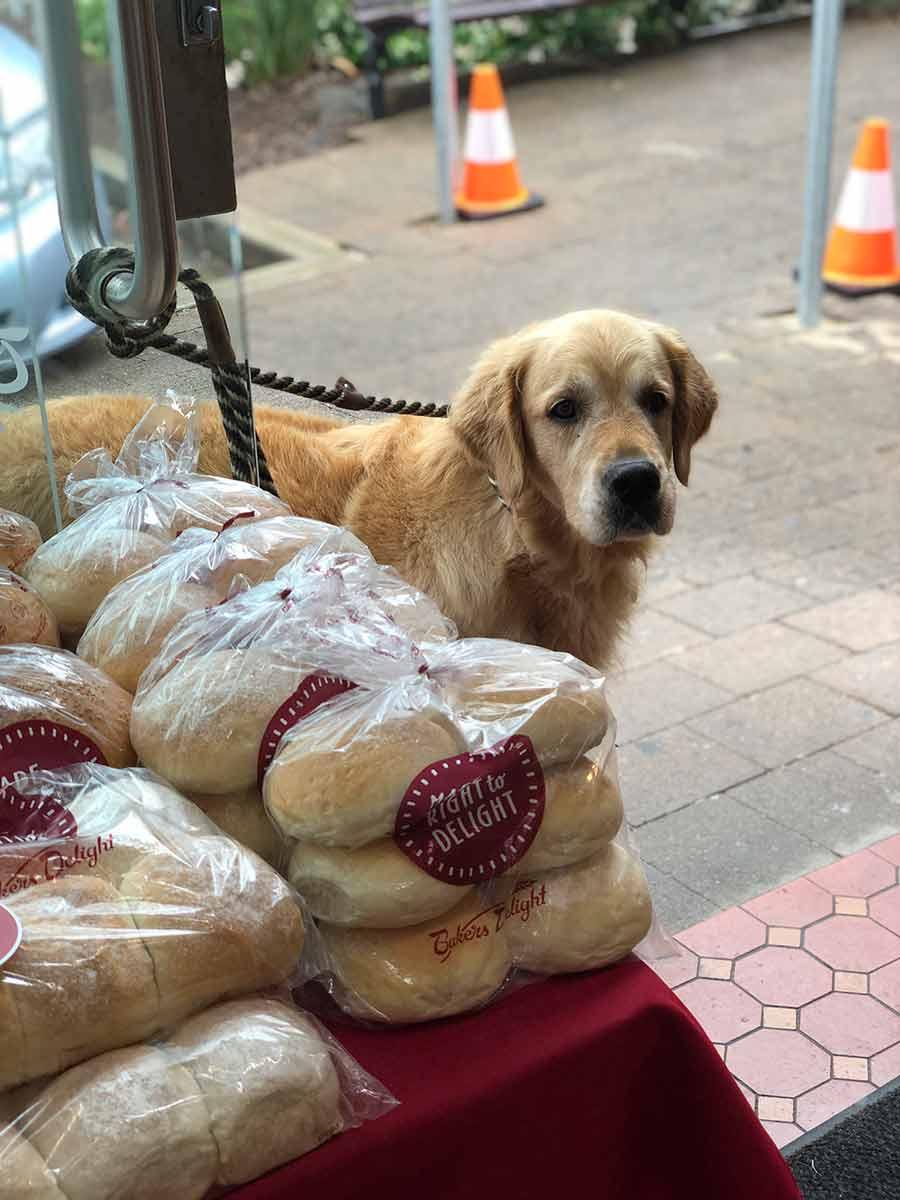 Dozer the golden retriever dog outside Bakers Delight