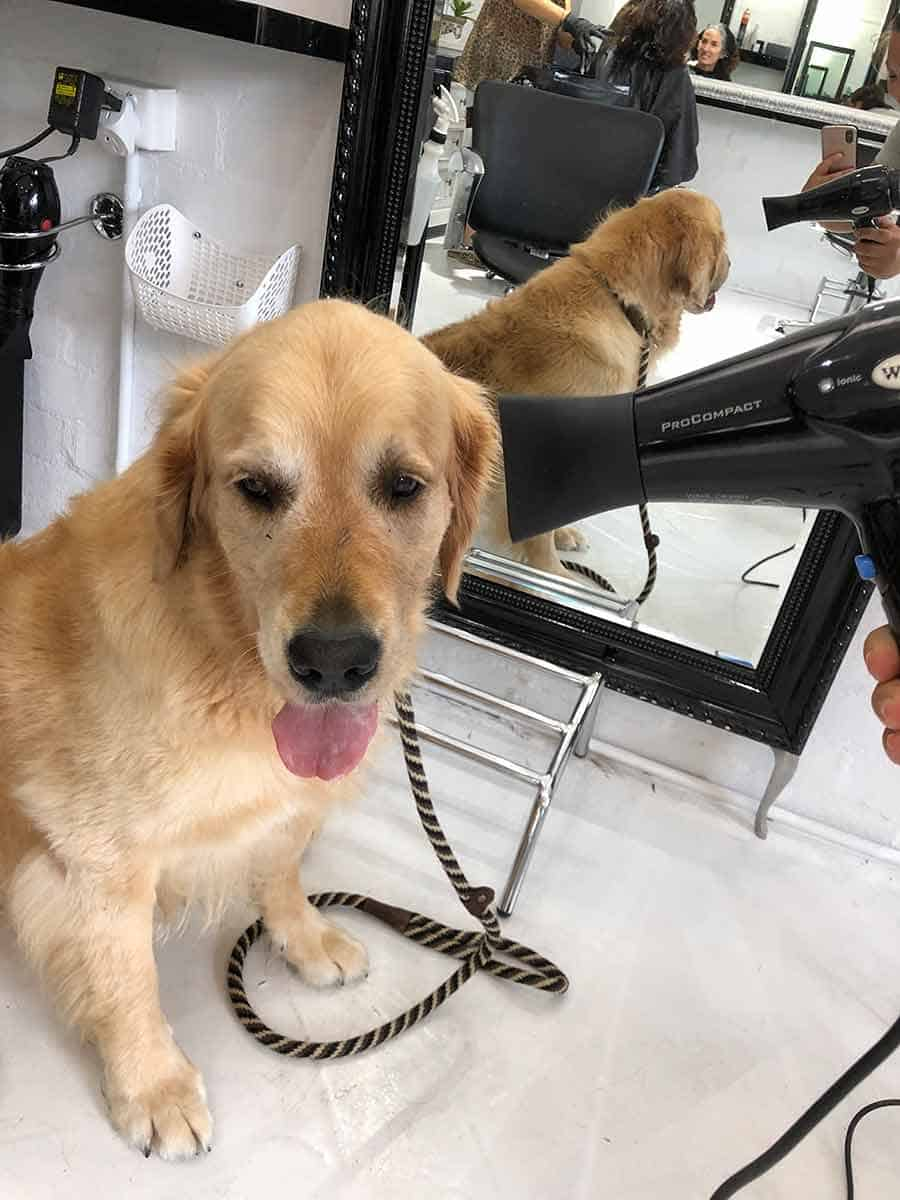 Dozer the golden retriever dog in a blow dry bar