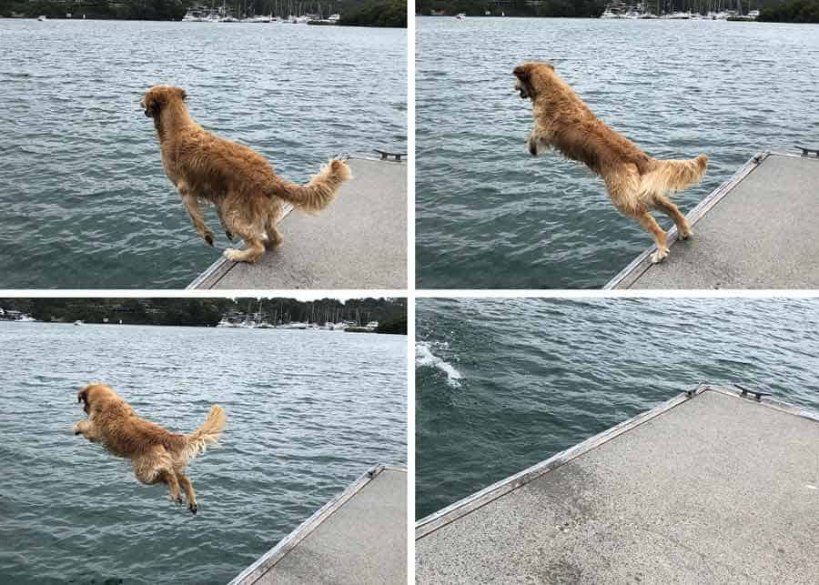 Dozer the golden retriever dog jumping off jetty into water