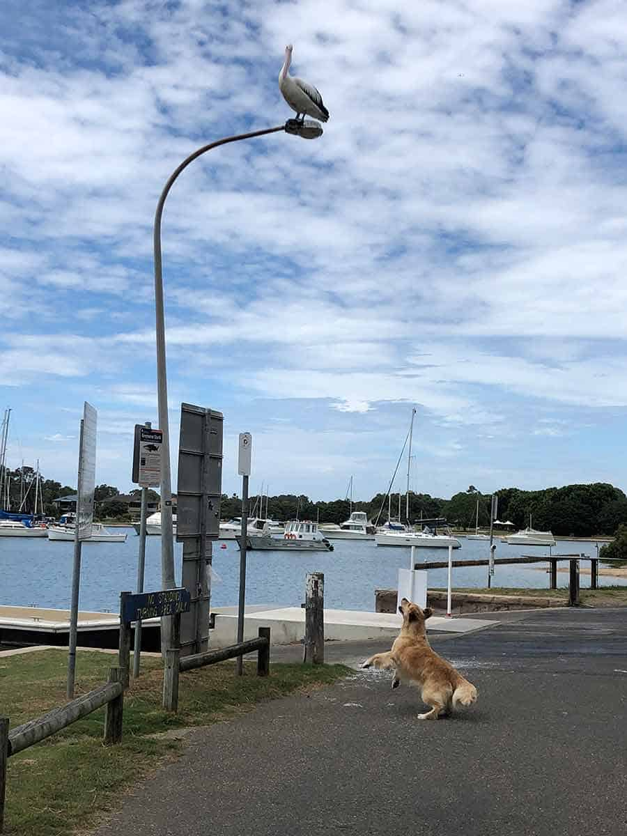 Dozer the golden retriever dog torturing pelican on street light
