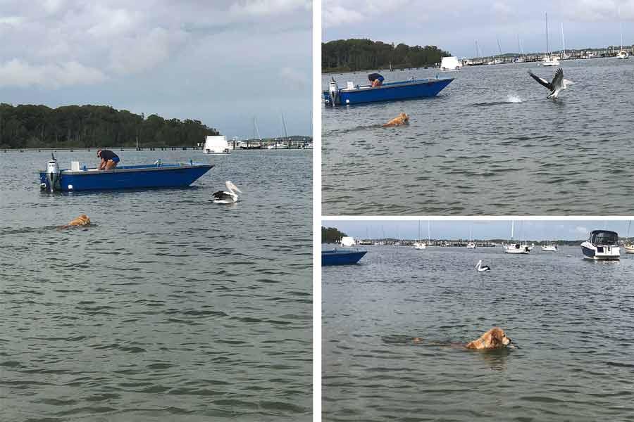 Dozer chasing pelicans Port Stephens