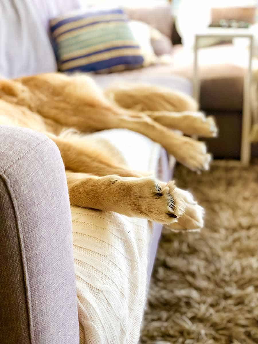 Dozer golden retriever paws hanging off couch sleeping