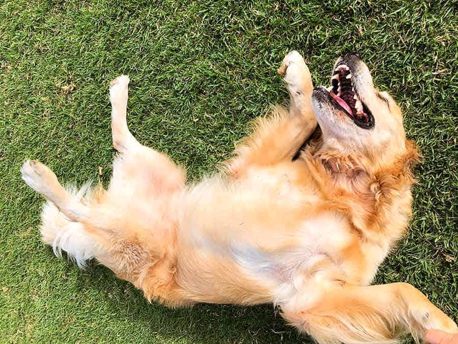 Dozer wanting tummy scratches at park_golden retriever dog