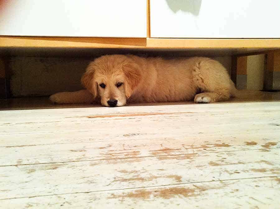 Dozer puppy under kitchen cabinet