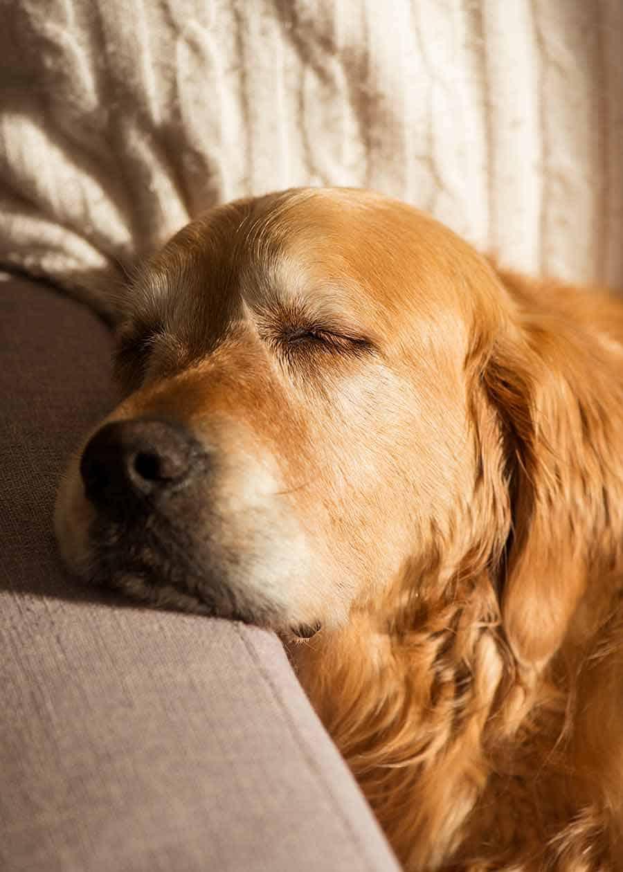 Dozer golden retriever dog post breakfast snooze