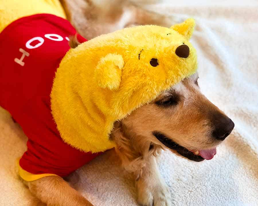 Dozer the golden retriever dog in a Winnie the Pooh outfit from Harujuku in Tokyo