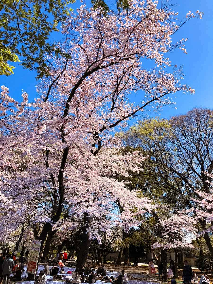 Ueno Park (Ueno Koen) during cherry blossom season