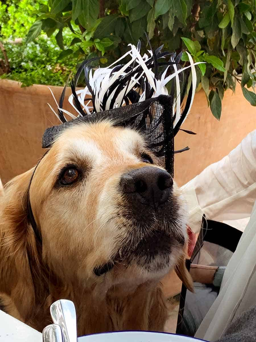 Dozer the golden retriever Melbourne Cup fascinator