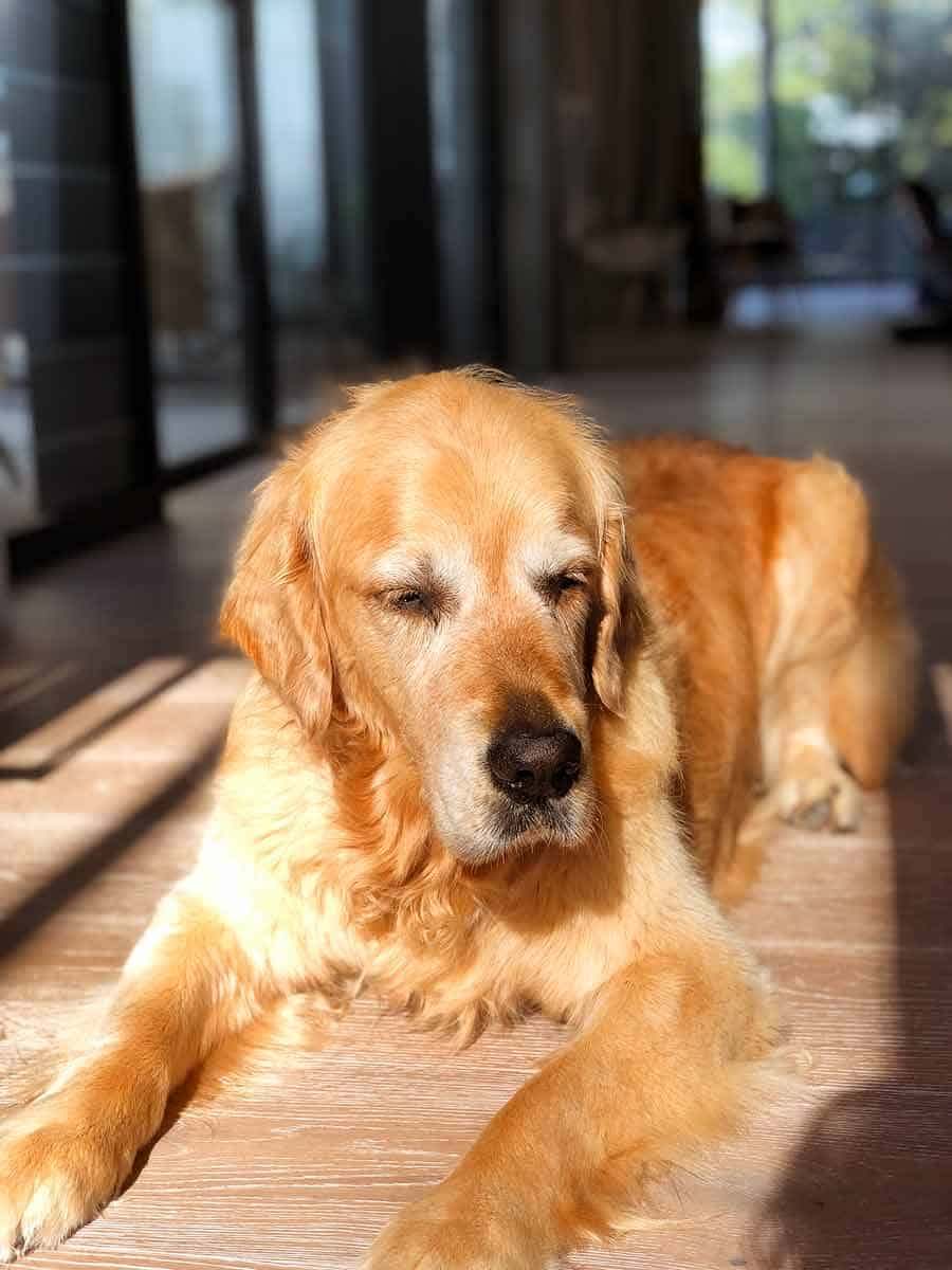 Dozer the golden retriever blinded by afternoon sun