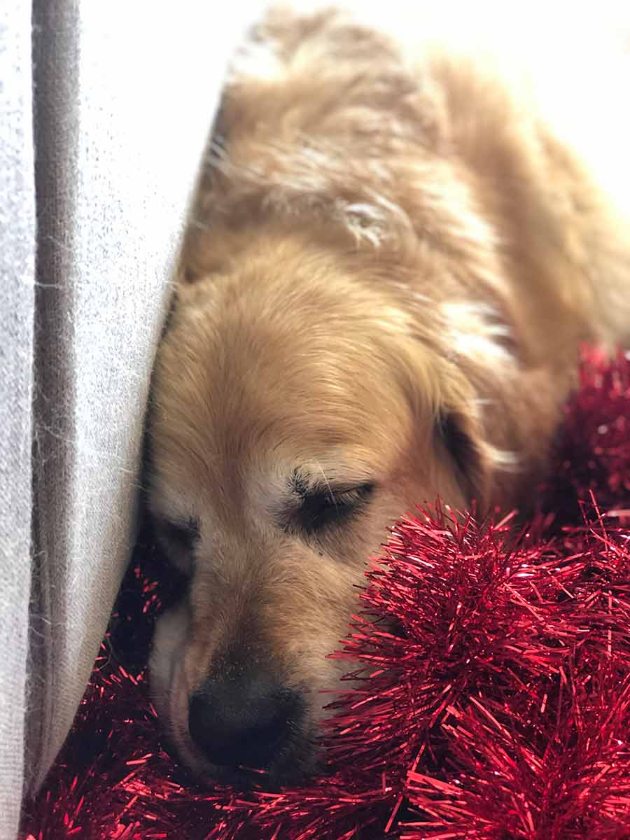 Dozer sleeping on tinsel