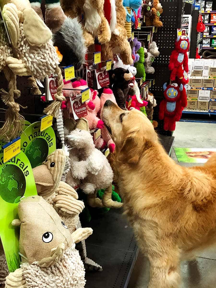 Dozer the golden retriever choosing a toy