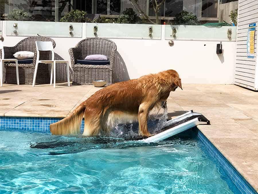 Dozer the golden retriever climbing out of pool ramp