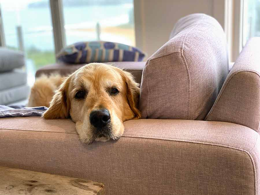 Dozer the golden retriever in armchair