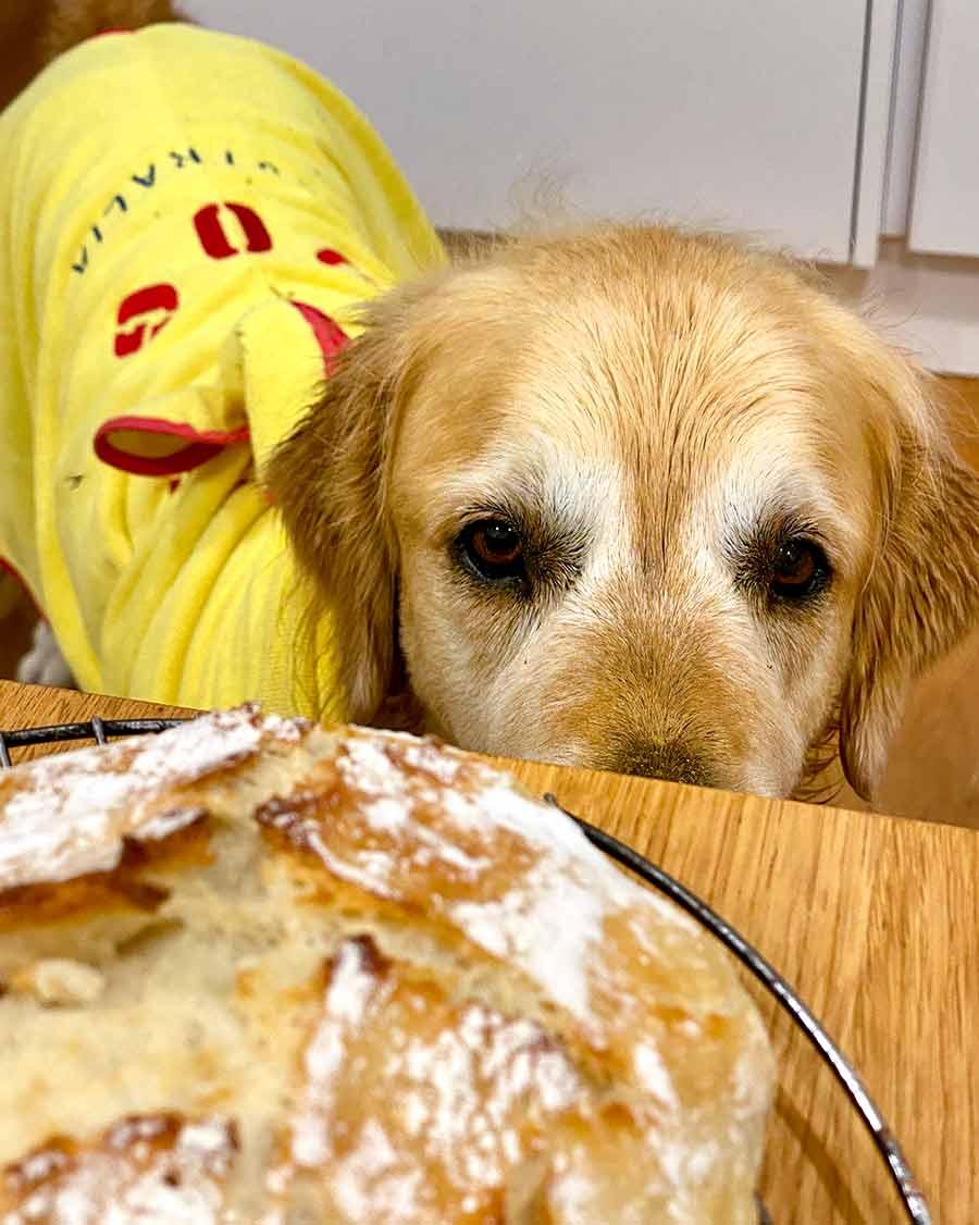 Dozer golden retriever no knead artisan bread