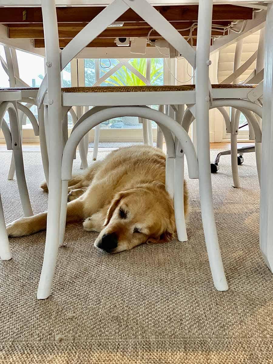 Dozer the golden retriever under dining table