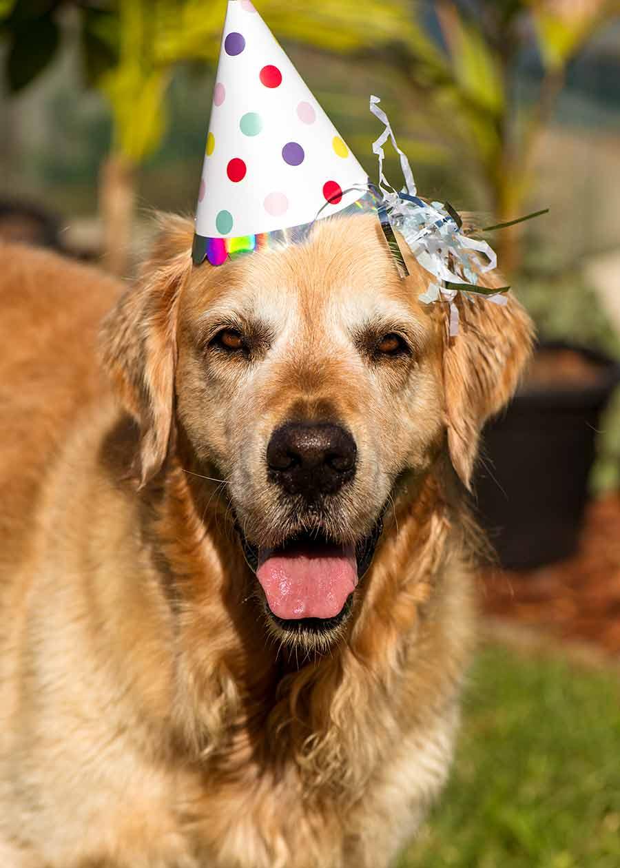 Dozer the golden retriever dog 8th birthday