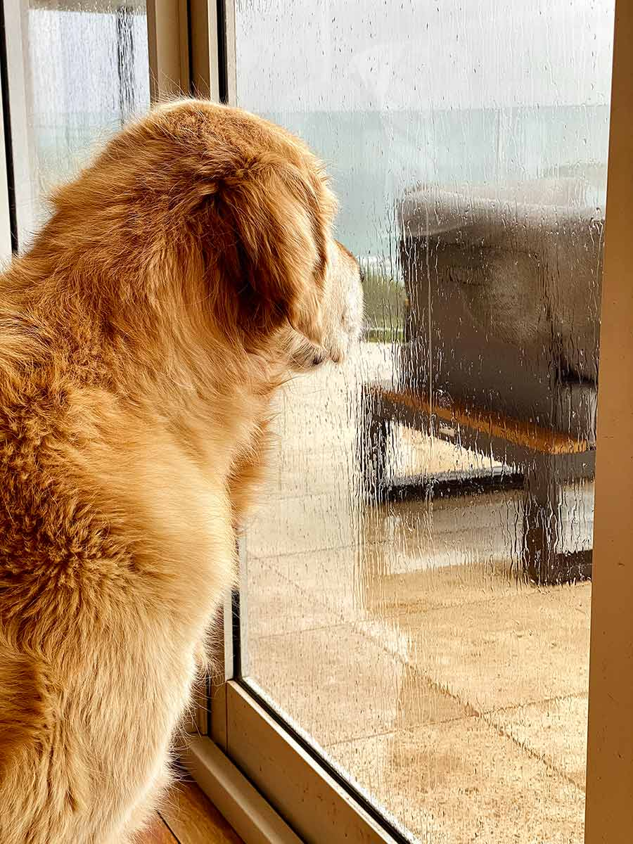 Dozer looking out window on rainy day