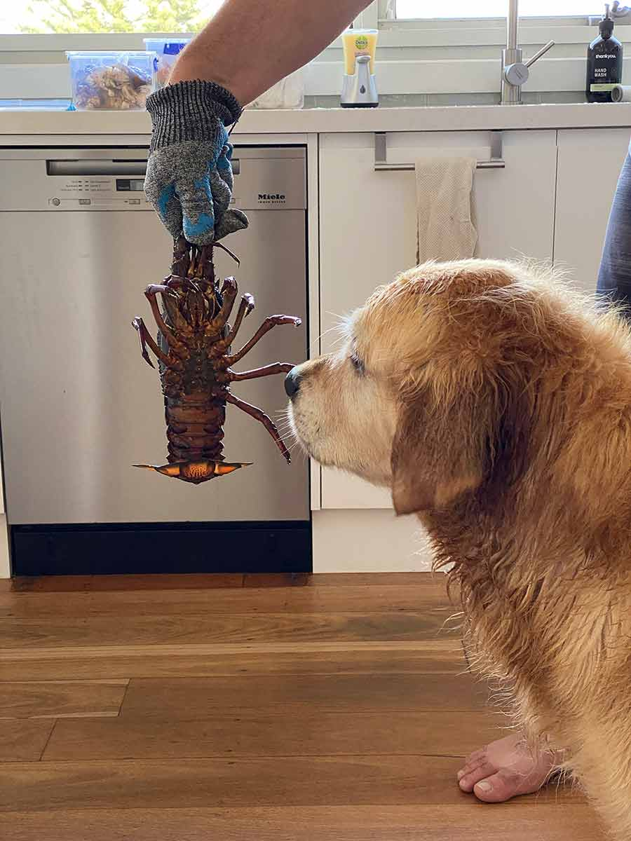 Dozer-freaking-out-over-lobster