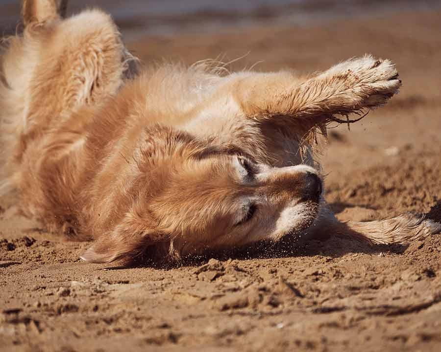 Dozer rolling in sand after bath