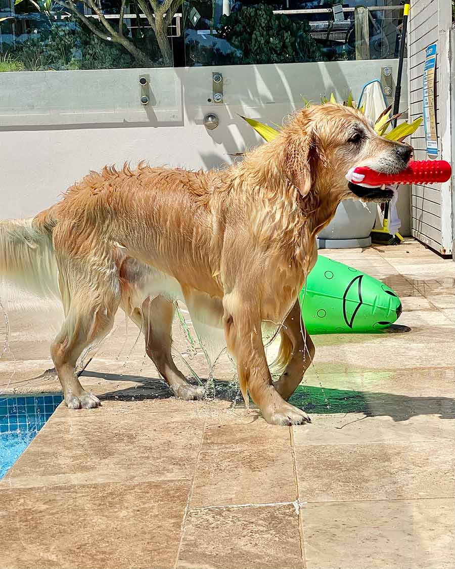 Dozer getting out of pool with water saturated fur