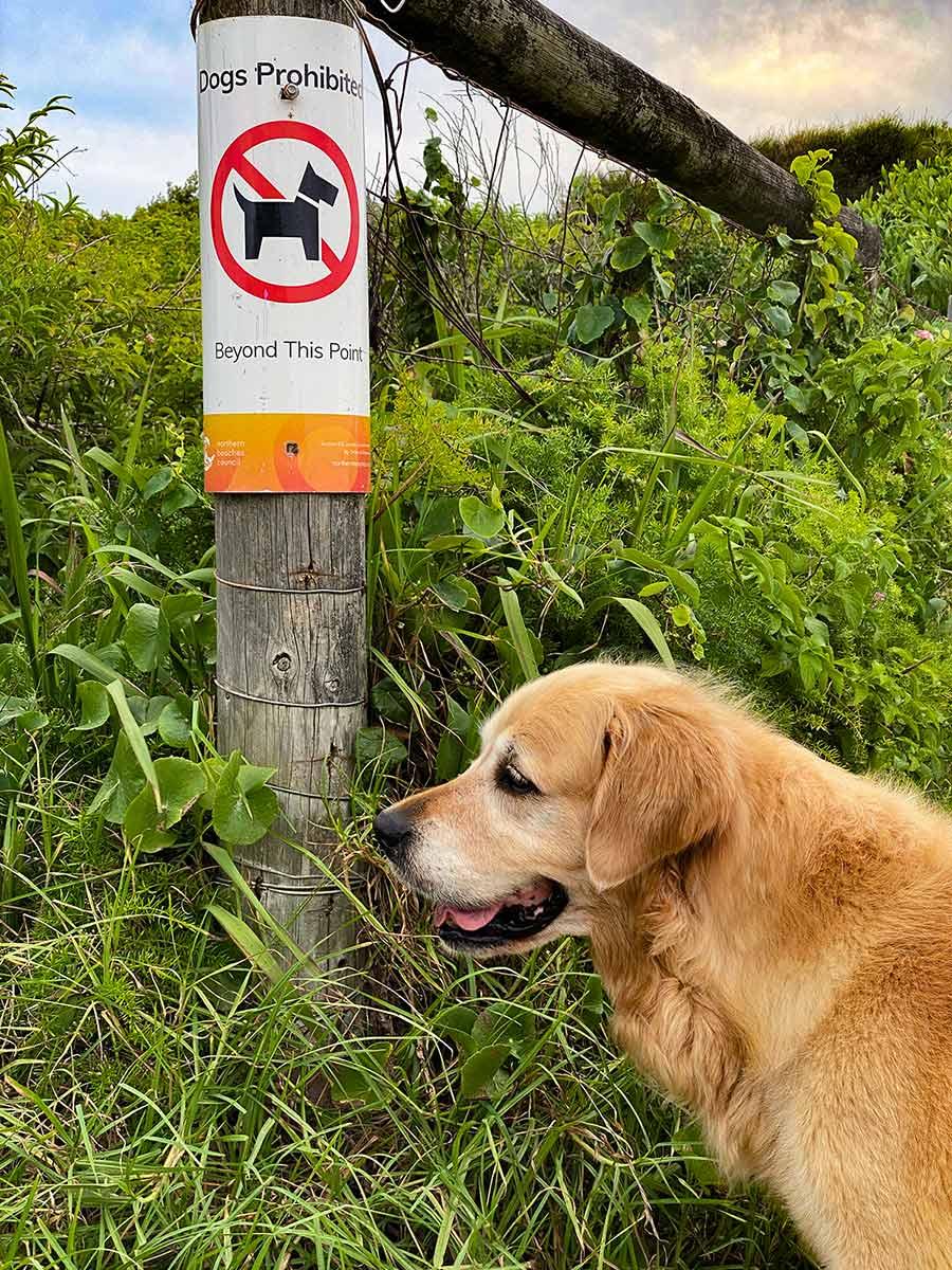Dozer not allowed onto Mona Vale beach