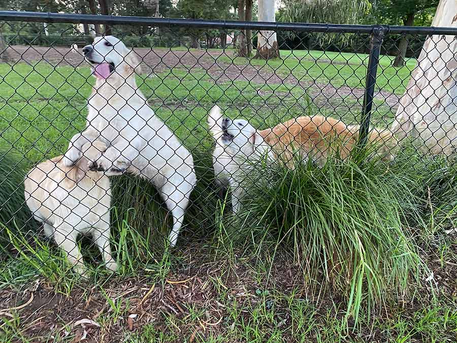 Dozer with his golden retriever friends