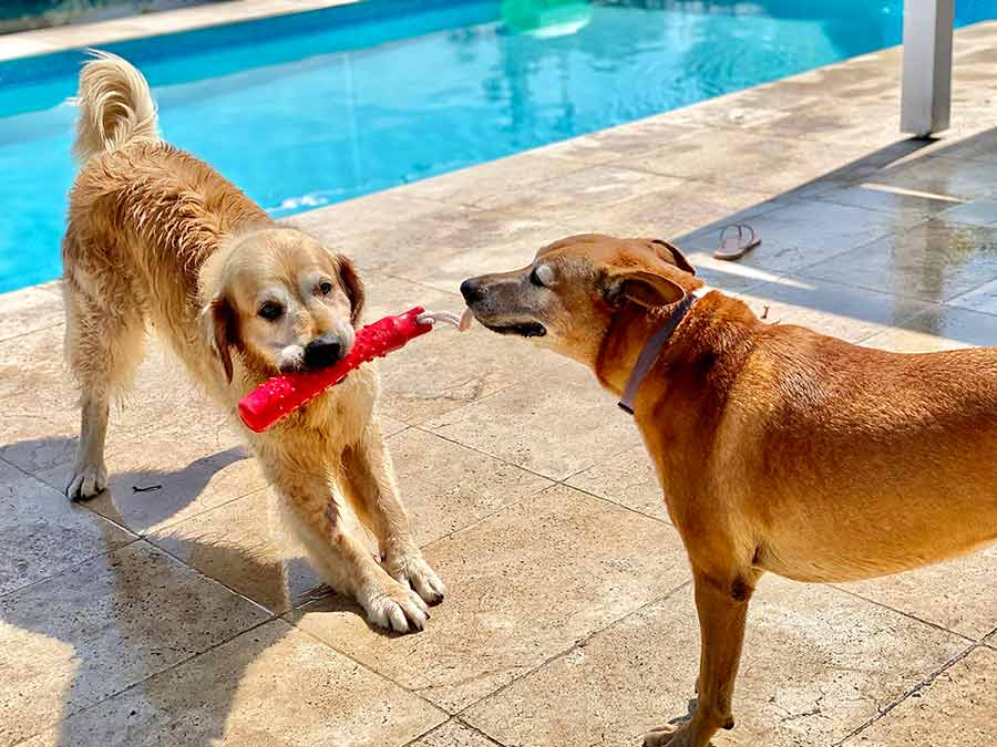 Dozer and Jarrah playing tug of war by the pool