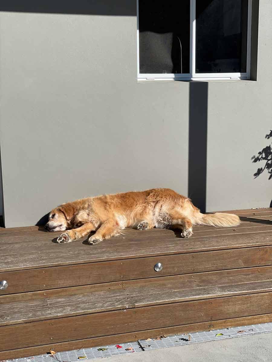 Dozer the golden retriever snoozing on front porch